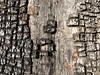 Juniper Bark Code