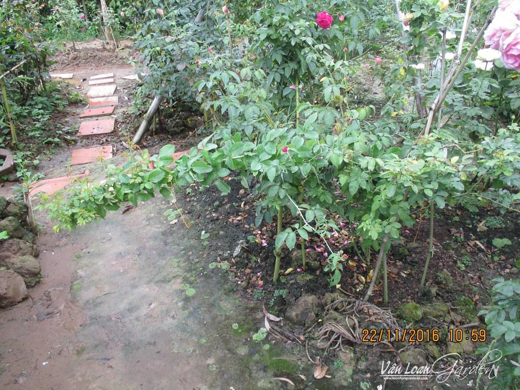 Cây hồng leo Honey Caramel bị ngã nằm ngang với mặt đất sau 15-20 ngày thì chúng đâm tược non khá nhiều