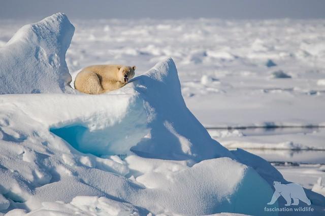 Polar Bear Nap, Nikon D4S, Sigma 150-600mm F5-6.3 DG OS HSM | S