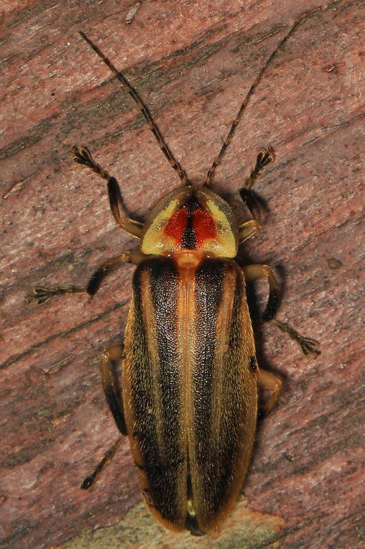 Firefly - Photuris species, Leesylvania State Park, Woodbridge, Virginia