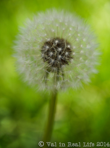 Dandelion in the Great Smoky Mountains