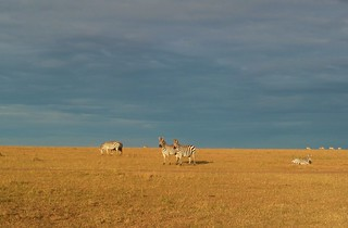 Zebras in der Morgensonne