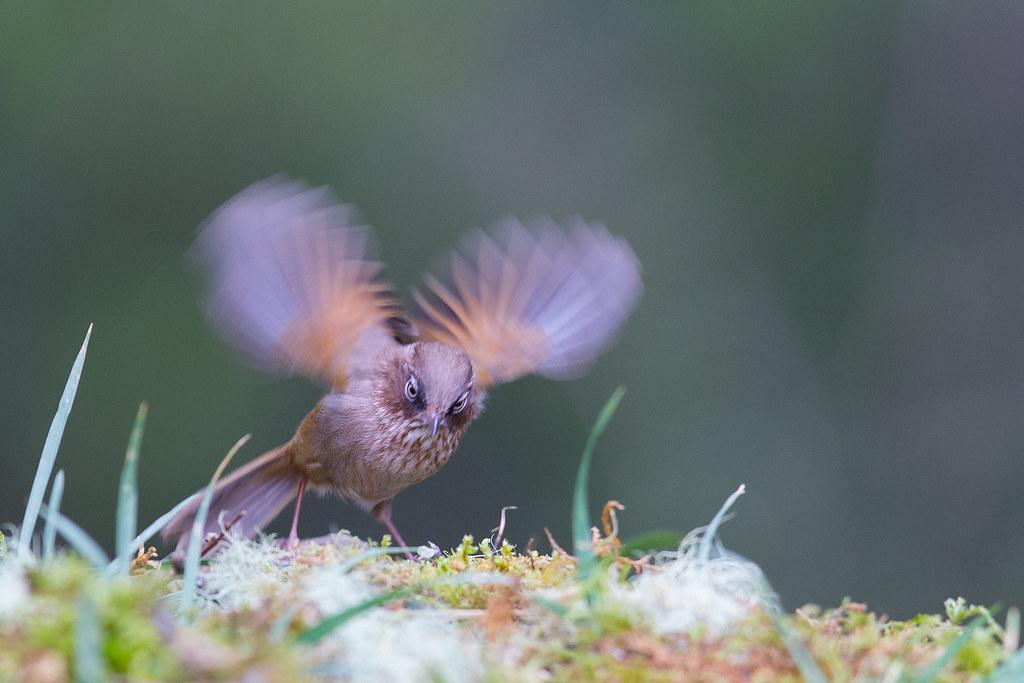 褐頭花翼-1379