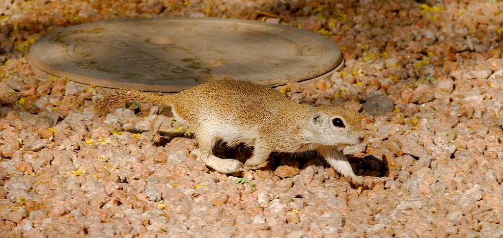 Ground Squirrel_1