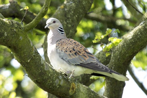 Turtle Dove - Otmoor