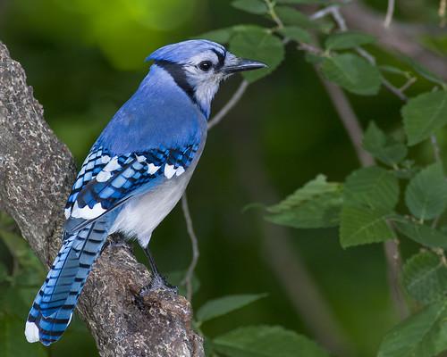 Blue Jay  0030