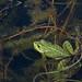 Pelophylax perezi - Photo (c) jacinta lluch valero, algunos derechos reservados (CC BY-SA)