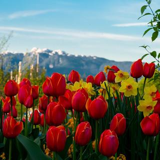 Tulips of the Coastal Cordillera