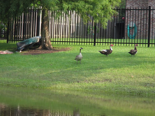 Duck, Duck, Goose! (As seen from behind.)