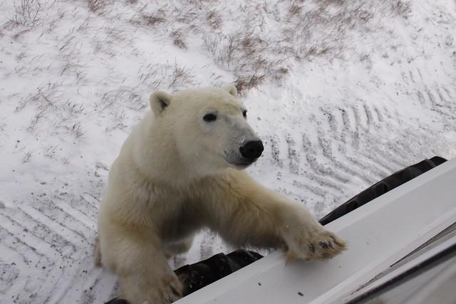 Classic Polar Bear Expedition