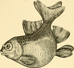 """Image from page 68 of """"Goldfish breeds and other aquarium fishes, their care and propagation : a guide to freshwater and marine aquaria, their fauna, flora and management. With 280 explanatory illustrations, printed with the text"""" (1908)"""