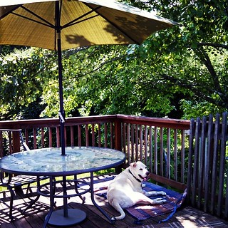 Trying to compensate for the tree limb we lost over the weekend, which shaded Zeus' favorite spot on the deck. #dogstagram #instadog #happydog #seniordog #smile #summer #deck #love