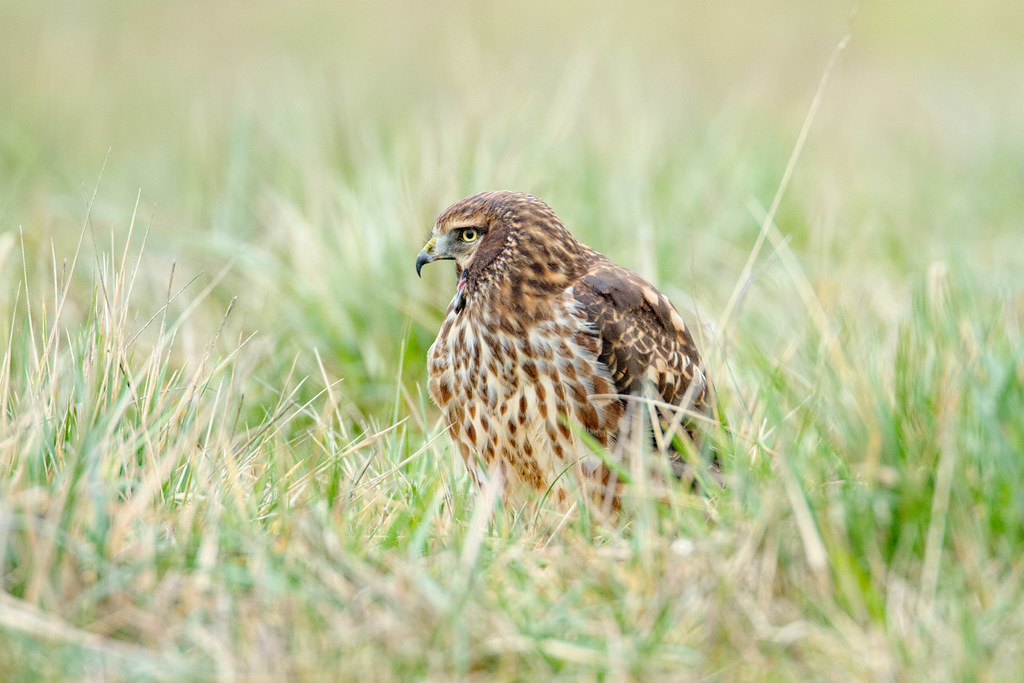 A northern harrier yawns while sitting in a meadow