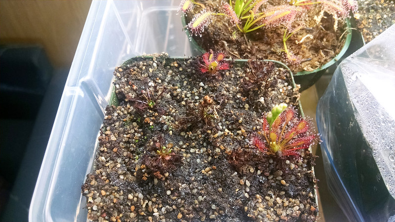 Drosera intermedia 'Cuba' after repotting.