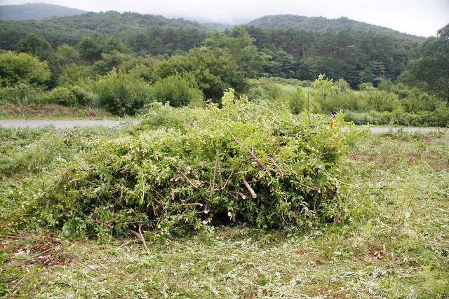 カラコギカエデを伐採.整理しながら積んでいった.