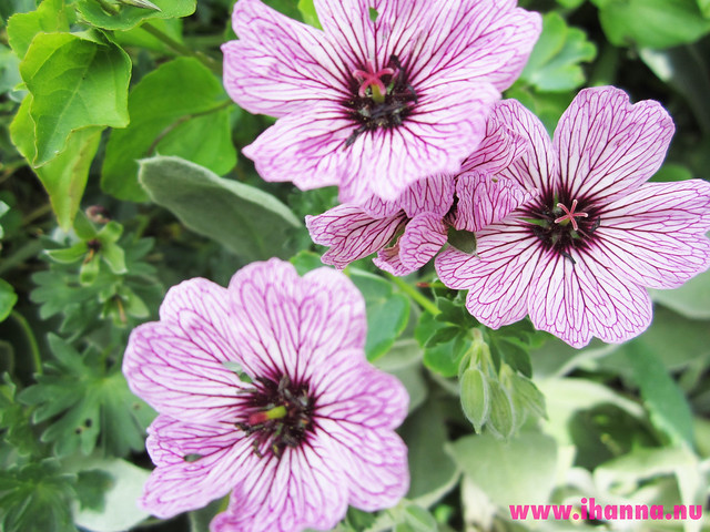 Striped flowers #pinkflowermission photos by iHanna