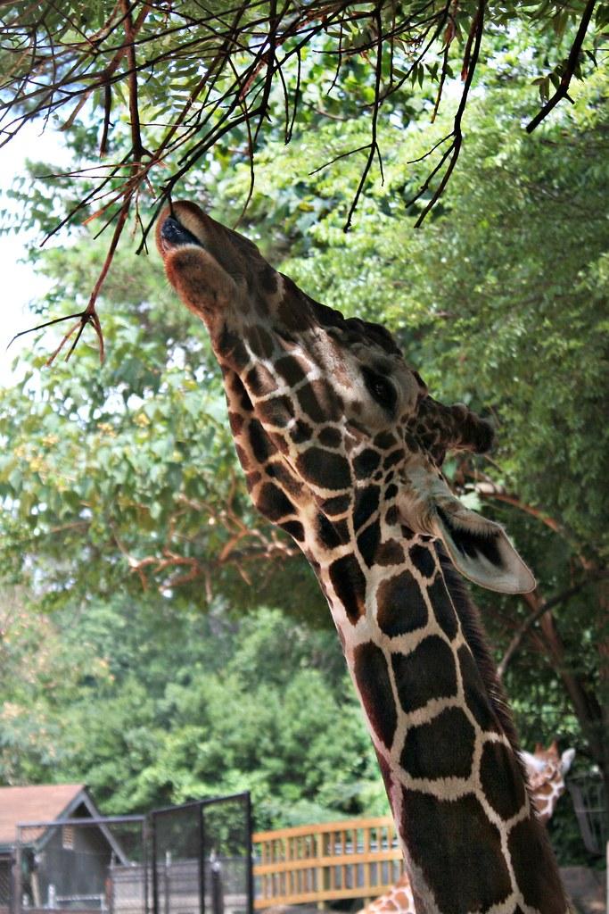 Atlanta Zoo - Giraffe