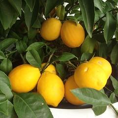 Hey good lookin #lemons #lemontree