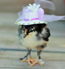 Top-10-Baby-Chicks-in-Hats-2