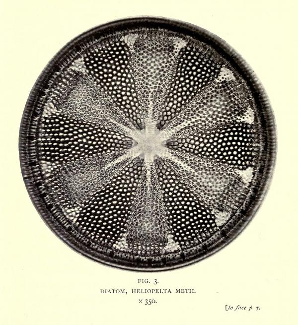 smith-diatom