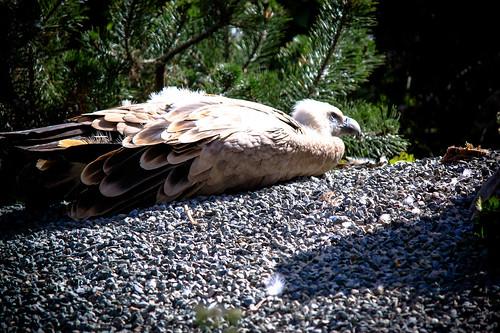 Vultures at Paris Zoo