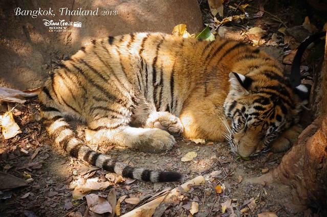 Kanchanaburi Tiger Temple 12