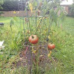brandywine tomato in maco's backyard beds