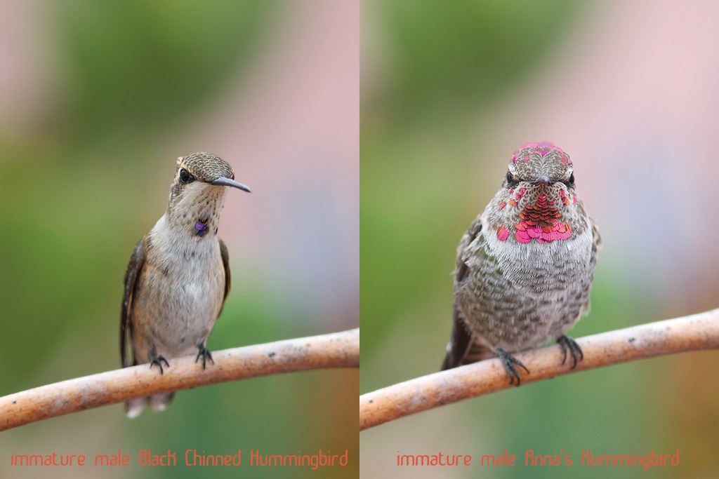 Hummingbird-comparison-140814