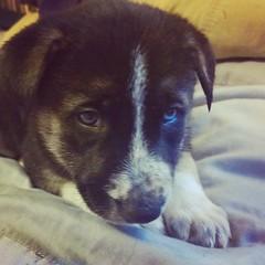 Baby Rileyberry. #tbt #throwbackthursday #shepsky #husky #GSD #germanshepherddog #puppy