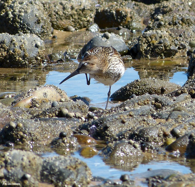 P1080706_2 - Dunlin, Whiteford Point