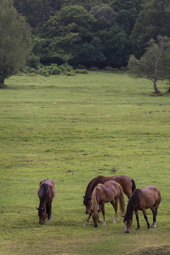 horses-NewForest