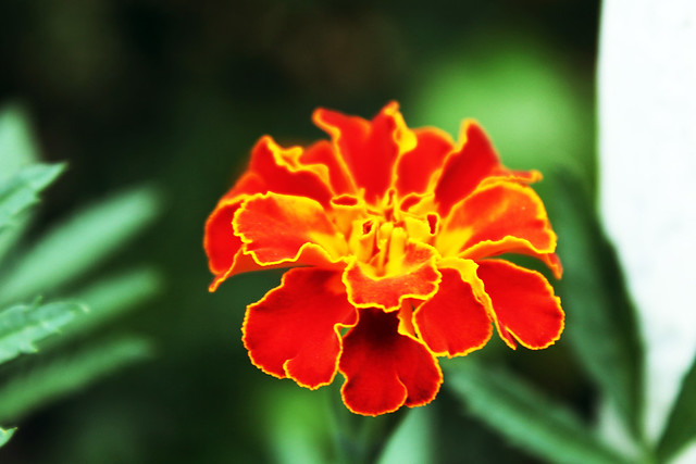Flower from my childhood!