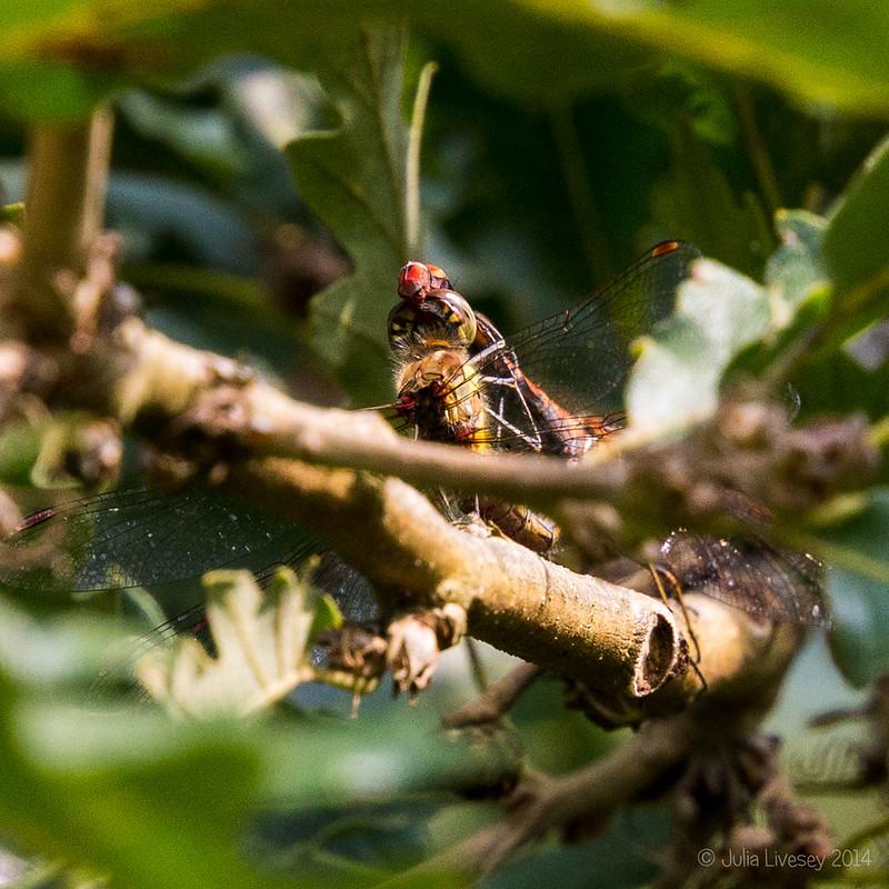 Upside down in an oak tree