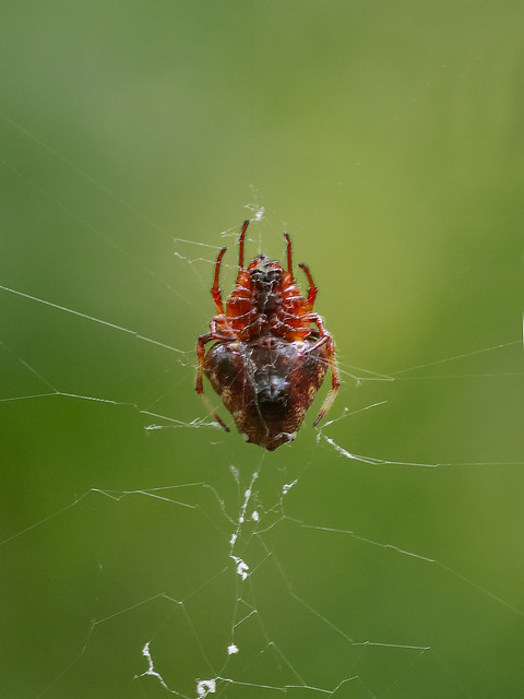 Red and Yellow Spider