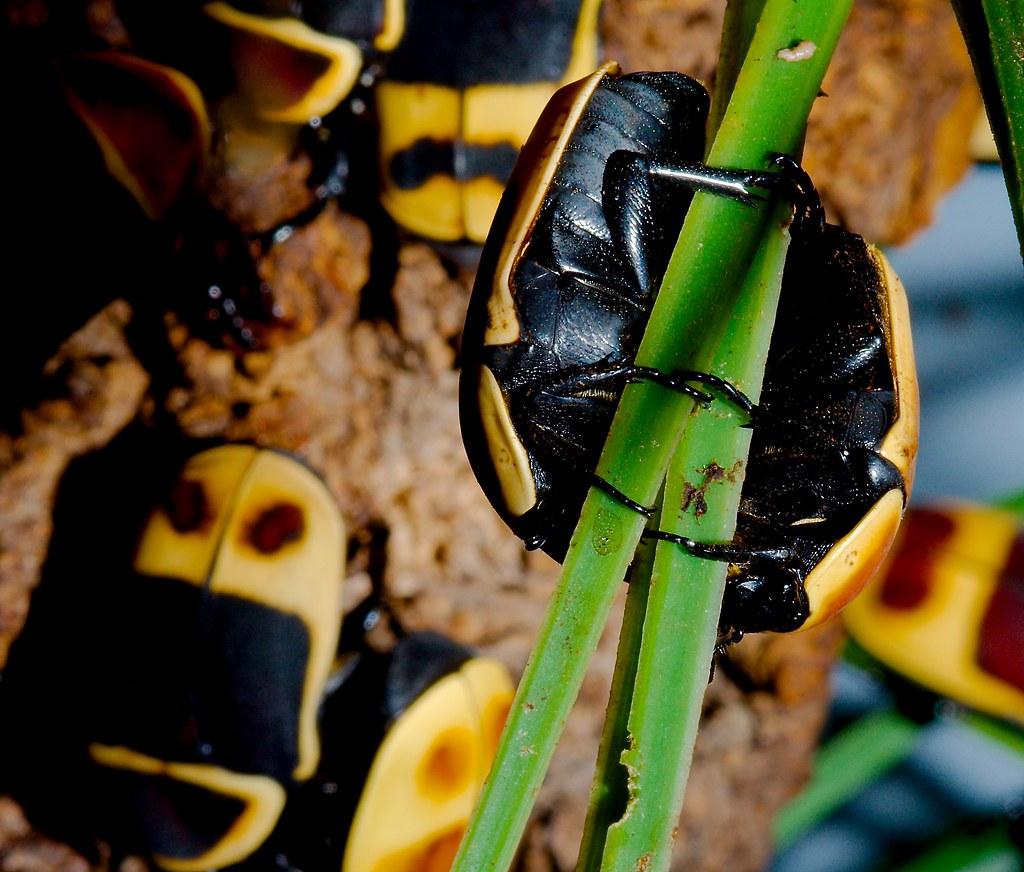 Taxicab Beetle (Pachnoda peregrina)_2