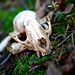Could this be a raccoon skull?