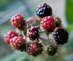 tayberry(0.0), shrub(0.0), flower(0.0), wine raspberry(0.0), crataegus pinnatifida(0.0), produce(0.0), zante currant(0.0), blackberry(1.0), berry(1.0), plant(1.0), macro photography(1.0), frutti di bosco(1.0), loganberry(1.0), fruit(1.0), food(1.0), raspberry(1.0), boysenberry(1.0), dewberry(1.0),
