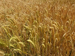 grassland(0.0), emmer(1.0), hordeum(1.0), prairie(1.0), agriculture(1.0), triticale(1.0), einkorn wheat(1.0), rye(1.0), food grain(1.0), field(1.0), barley(1.0), wheat(1.0), plant(1.0), food(1.0), crop(1.0), cereal(1.0),