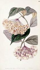 Bell-flowered Hoya. Hoya campanulata. Edwards's Botanical Register, vol. 33 (1847) [Sarah Ann Drake]