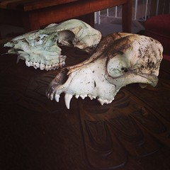 2 skulls. Suspect the close one's a cougar, other one's most likely a deer.   Taking offers.