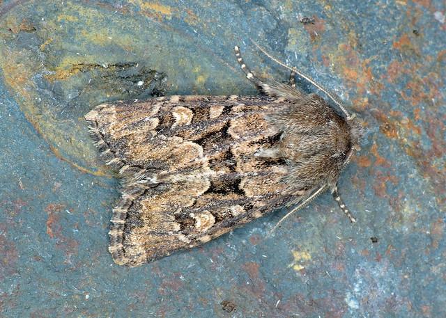 2353 Flounced Rustic - Luperina testacea