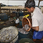Local fisherman marinating fish to make fermented salty fish paste in Chnoc Trou village, Kampong Chhnang province, Cambodia. Photo by Sylyvann Borei.