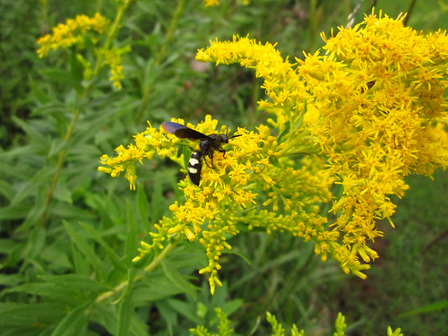 Double-banded Scoliid on Goldenrod