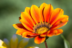 Flores em laranja