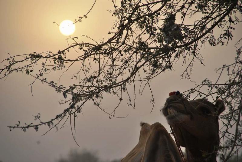 257 Camel safari a Jaisalmer (61)