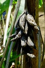 Sun-dried Plantain
