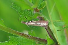 HolderAgriphila straminella, Latterbarrow, Cumbria, England