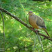 Mourning Dove by Image South Photography
