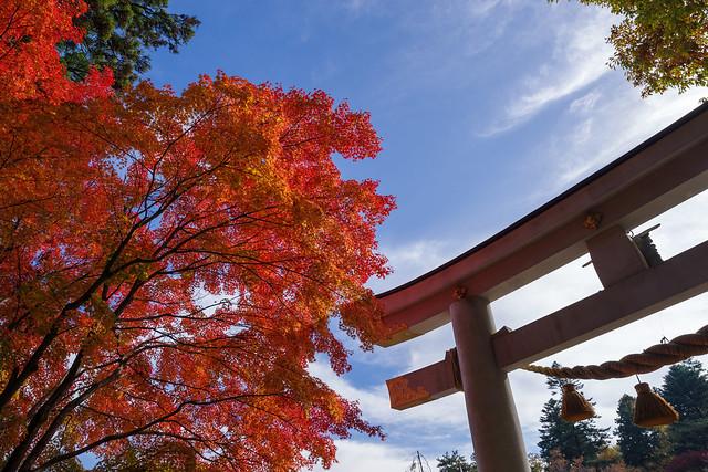 宝登山神社のカエデ