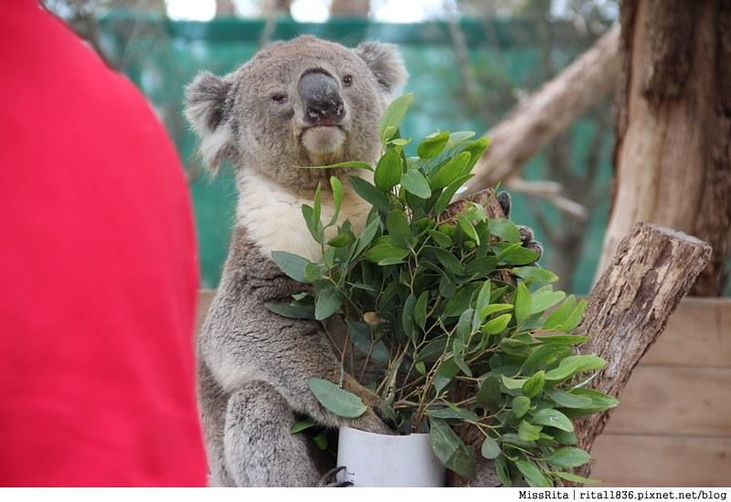 KKDAY 墨爾本自由行 melbourne gowesttours kkDAY墨爾本 墨爾本企鵝 澳洲自助 墨爾本自助 菲利浦島 菲利浦島交通 墨爾本必去 墨爾本酒莊 月光野生動物 Nobbies 墨爾本企鵝歸巢 墨爾本一日遊 菲利普島一日遊,小企鵝歸巢遊行44